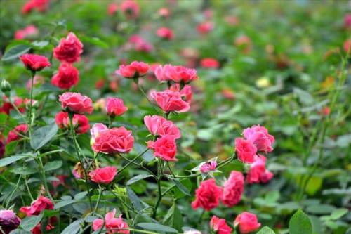 Thuyết minh giới thiệu về cây hoa hồng